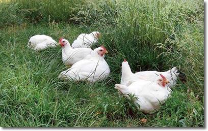 kirkview farms Pasture Raised Chickens 3