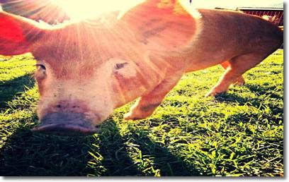 kirkview farms Forest/Pasture Raised piggy
